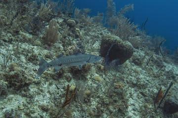 Sphyryaena barracuda