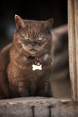 Lilac british cat on dark brown background