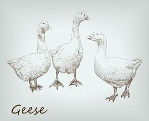 geese set. farm animals.vector sketches