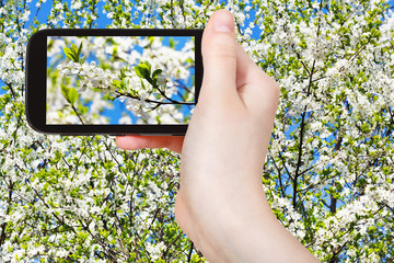 tourist taking photo of twig of cherry blossom