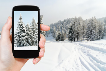 tourist taking photo of snowbound fir trees
