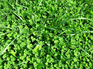 Clover and grass