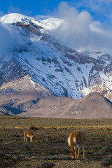 Vicugnas along the foothills of Chimborazo volcano in andean