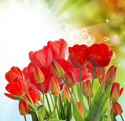 Beautiful garden fresh red tulips on abstract  background