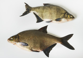 Two tench.