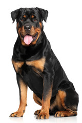 Wall Mural - Rottweiler in front of white background