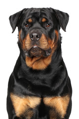 Wall Mural - Portrait of a purebred rottweiler