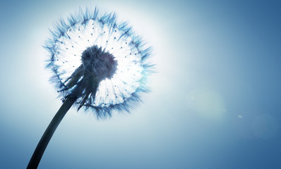 Wall Mural - dandelion - spring and allergy