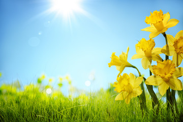 Spoed Fotobehang Narcis Daffodil flowers in the field