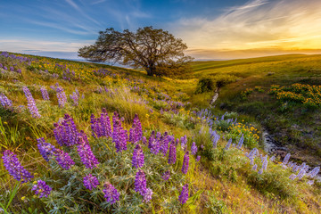 Lupine in sunset at Columbia hills state park, Washington