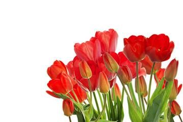 Beautiful garden fresh red tulips on white  background