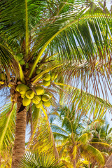 Coconuts hanging on a palm tree