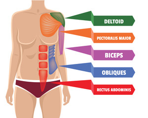 Vector anatomy muscles illustration