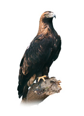 Eastern imperial eagle on white