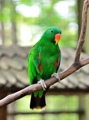 Eclectus Parrot standing on the branch