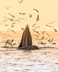 Bryde's whale, Eden's whale eating fish in the Gulf of Thailand. While many seagulls flying around,