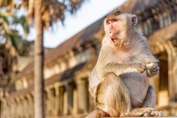 monkey portrait, angkor wat, cambodia, in background