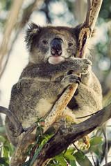 Sleepy coala
