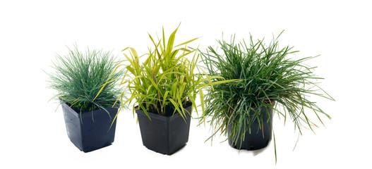 Ornamental grass - Sesleria,Festuca,Phalaris