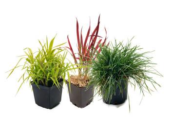 Ornamental grass - Phalaris , Imperata, Sesleria