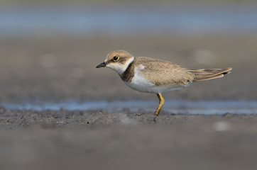 Juvanile Little Ringed Plover