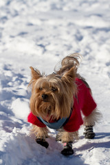 Yorkshire terrier in the snow