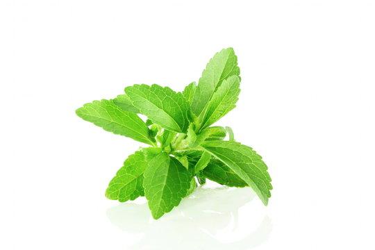 fresh stevia herbs closeup in pure white background