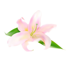 Realistic Pink Lily Vector Illustration