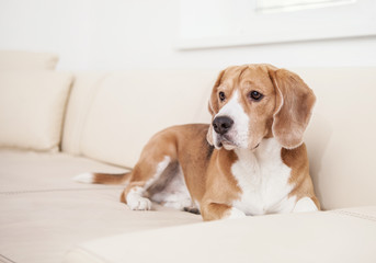 Beagle dog on the white leather sofa