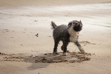 Spanish Water Dog at the Beach