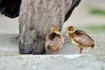 Two little peacock following their mother