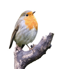 Robin on white