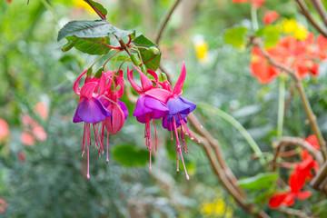 Beautiful fuchsia flowers with rain dew in garden.