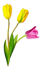 Yellow and pink tulips isolated on white background