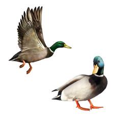 Mallard Drake In Flight and standing. illustration
