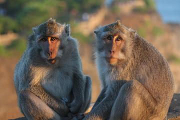 Java macaque, Macaca fascicularis