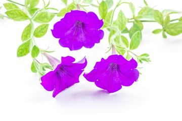 Wall Mural - purple petunia