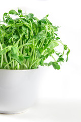 closeup green pea sprout  in white cup