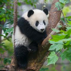 Cute panda bear climbing tree