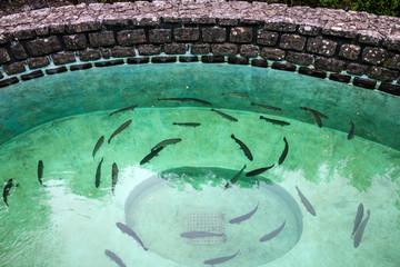 Trout fish farm, Madeira island, Ribeiro Frio, Portugal