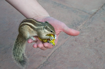Indian palm squirrel takes sweets from hand