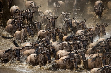 The Great Migration. Going through the Mara wildebeest.