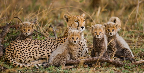 The female cheetah with her cubs Wall mural
