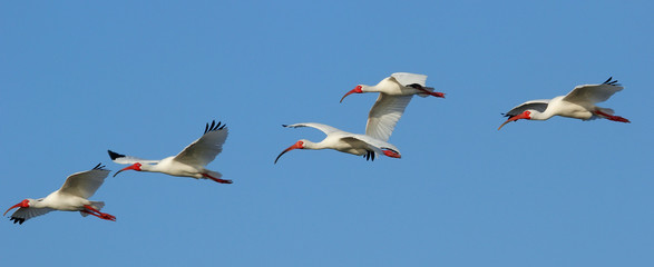 White Ibises in flight