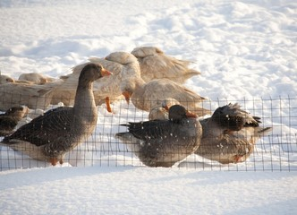 Geese in the snow. winter
