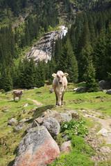 Austria,valle dello Stubai,una mucca.