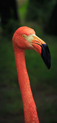 Portrait of a flamingo close-up