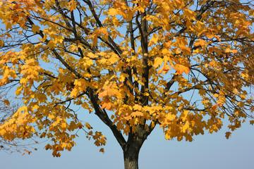 Autumn maple against a cloudless blue sky.
