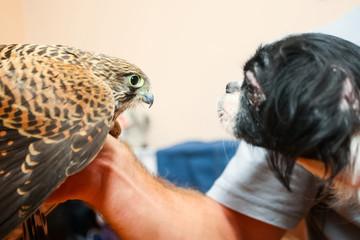 Lanner falcon and pekingese dog