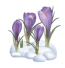 Spring purple crocuses flowers on a snow. Vector illustration